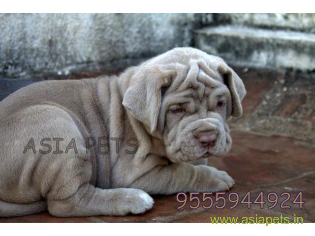 Neapolitan Mastiff Puppy Price In Thane Neapolitan Mastiff Puppy