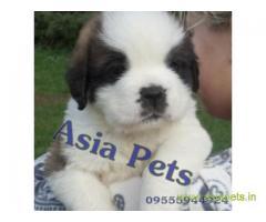 Saint bernard puppy price in thane, Saint bernard puppy for sale in thane