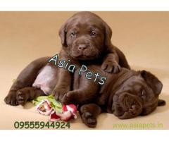 Labrador pups price in Thiruvananthapurram, Labrador pups for sale in Thiruvananthapurram