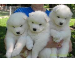 Samoyed pups price in Thiruvananthapurram, Samoyed pups for sale in Thiruvananthapurram