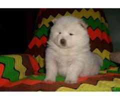 Chow chow pups price in Secunderabad, Chow chow pups for sale in Secunderabad