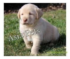 Labrador pups price in surat, Labrador pups for sale in surat