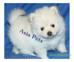 Pomeranian puppy for sale in Surat