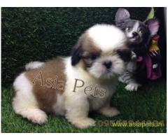 Shih tzu pups price in Secunderabad, Shih tzu pups for sale in Secunderabad