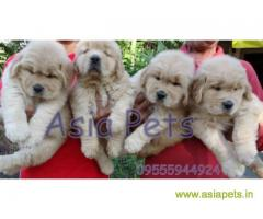 golden retriever puppy price in delhi