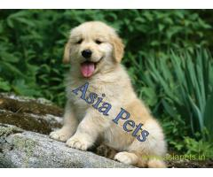 Golden Retriever Puppies For Sale In India| Golden Retriever Price In India