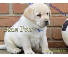 Labrador Retriever dogs for sale Gurgaon