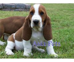 Basset hound puppy price in Rajkot, Basset hound puppy for sale in Rajkot
