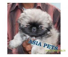Pekingese puppies price in Rajkot, Pekingese puppies for sale in Rajkot
