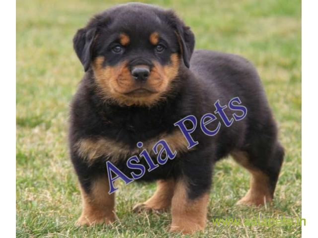 Rottweiler Puppies Price In Rajkot Rottweiler Puppies For Sale In