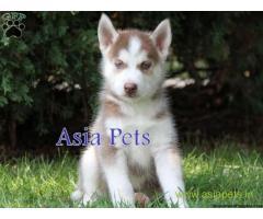 Siberian husky puppies price in Rajkot, Siberian husky puppies for sale in Rajkot