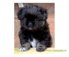 Tibetan spaniel puppies price in Rajkot, Tibetan spaniel puppies for sale in Rajkot