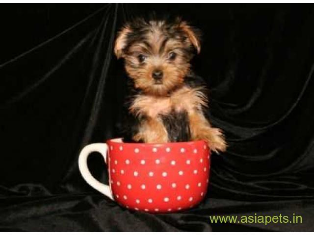 Silky Terrier (Australian) Price in Delhi,Silky Terrier (Australian) puppy for sale in Delhi, INDIA