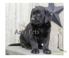 Labrador puppies for sale delhi| Labrador pups for sale in delhi