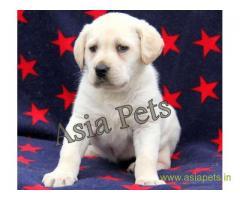 Labrador puppies for sale delhi, Labrador pups for sale in delhi