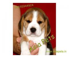 Beagle Puppy For Sale in Delhi, Beagle Puppy Price in Delhi
