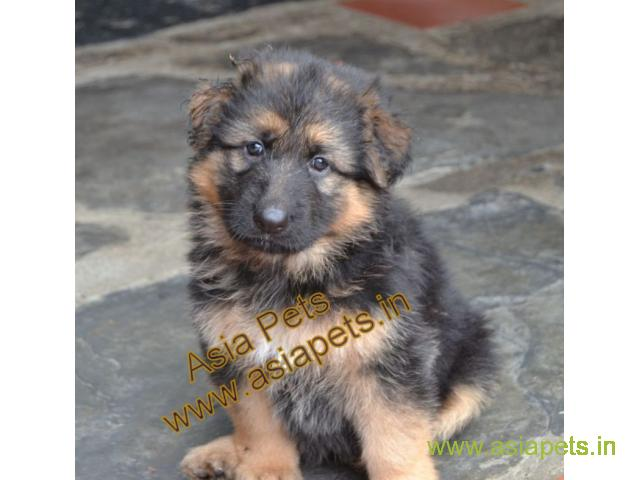 German shepherd Heavy Bone Pups For Sale In Delhi, German shepherd pups in best price
