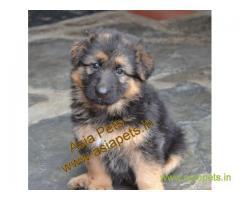 German shepherd Heavy Bone Pups For Sale In Delhi, German shepherd pups in best price