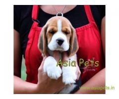 Beagle Puppies For Sale in Delhi, Beagle Price in Delhi