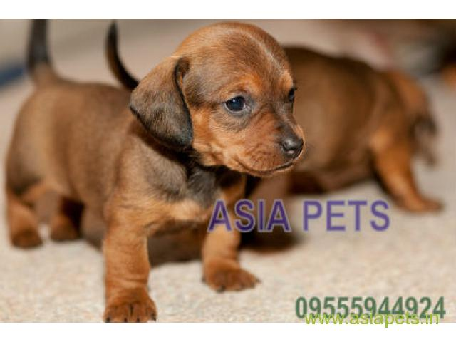 Dachshund Puppies Price In Pune Dachshund Puppies For Sale In Pune