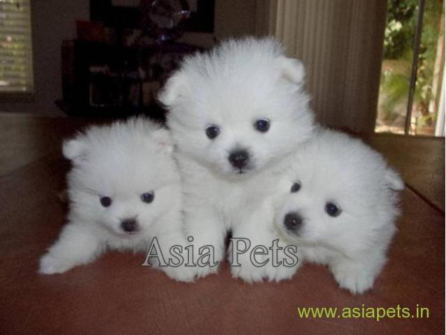 Pomeranian Puppies Price In Pune Pomeranian Puppies For Sale In Pune