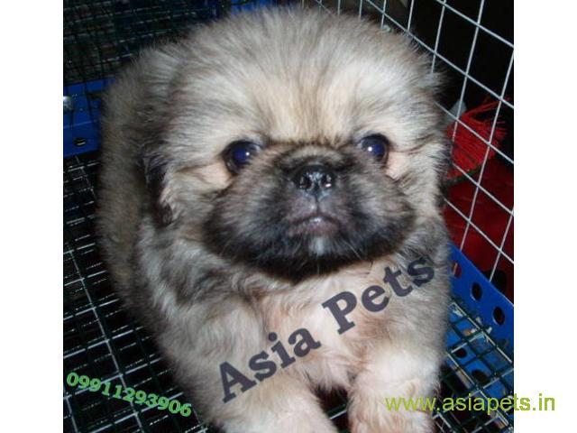 Pekingese Puppies Price In Pune Pekingese Puppies For Sale In Pune