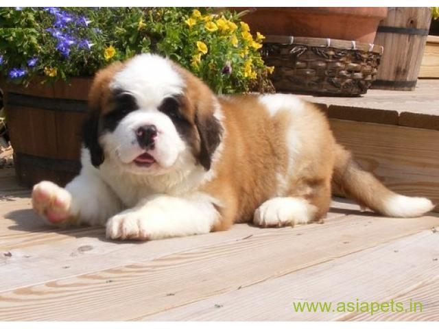 Saint Bernard Puppies Price In Pune Saint Bernard Puppies For Sale