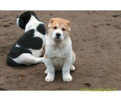 Alabai puppy price in thane, Alabai puppy for sale in thane