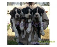 Boxer puppy price in thane, Boxer puppy for sale in thane