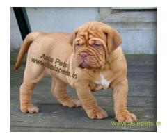 French Mastiff puppy price in thane, French Mastiff puppy for sale in thane