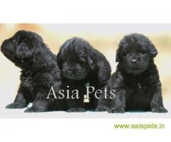 Newfoundland puppy price in thane, Newfoundland puppy for sale in thane