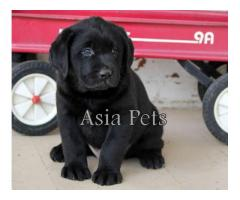 Labrador pups price in agra,Labrador pups for sale in agra
