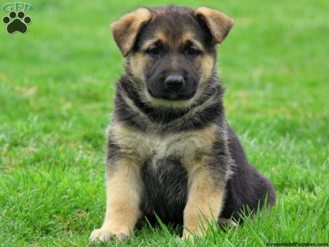 German Shepherd puppy price in agra,German Shepherd puppy for sale in agra