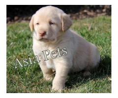 Labrador puppy price in agra,Labrador puppy for sale in agra       asiapets