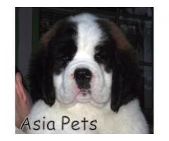 Saint bernard puppy price in agra,Saint bernard puppy for sale in agra