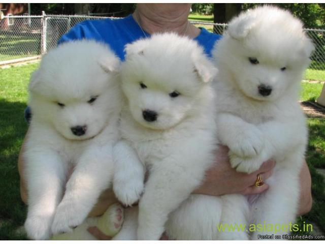 Samoyed Puppy Price In Thane Samoyed Puppy For Sale In Thane
