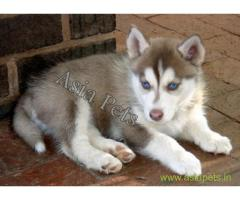 Siberian husky puppy price in thane, Siberian husky puppy for sale in thane