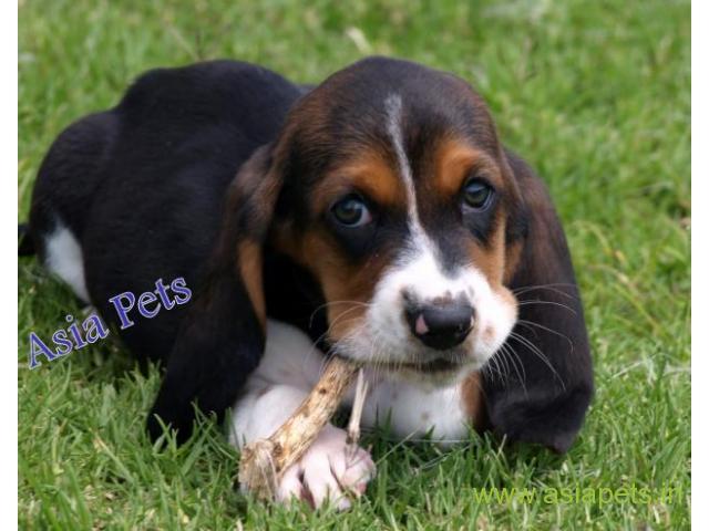 Basset hound puppies price in patna, Basset hound puppies for sale in patna