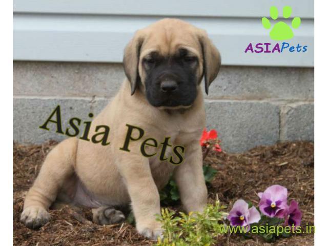 English Mastiff pupies price in patna, English Mastiff pupies for sale in patna