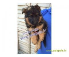 German Shepherd puppies price in patna, German Shepherd puppies for sale in patna