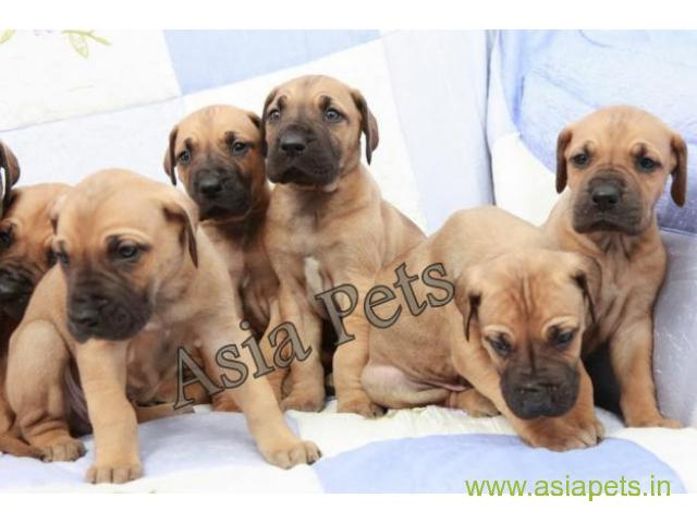 Great dane puppies price in patna, Great dane puppies for sale in patna