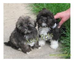 Lhasa apso puppie sprice in patna, Lhasa apso puppies for sale in patna