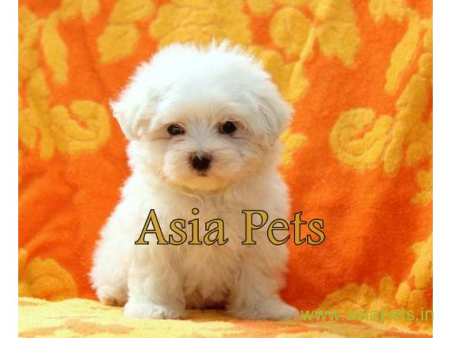 Maltese Puppies Price In Patna Maltese Puppies For Sale In Patna