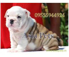 Bulldog puppies price in Noida, Bulldog puppies for sale in Noida