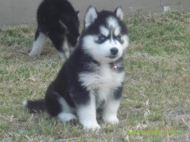 Siberian husky puppies price in patna, Siberian husky puppies for sale in patna