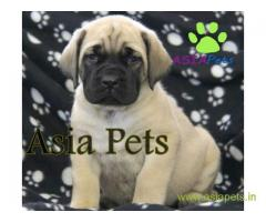 English Mastiff puppies price in Noida, English Mastiff puppies for sale in Noida