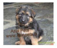 German Shepherd puppies price in Noida, German Shepherd puppies for sale in Noida