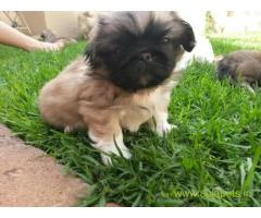 Lhasa apso puppies price in Noida, Lhasa apso puppies for sale in Noida