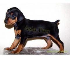 Miniature pinscher puppies price in Noida, Miniature pinscher puppies for sale in Noida