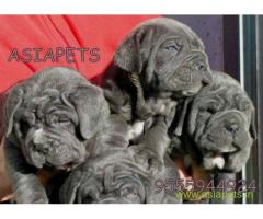 Neapolitan mastiff puppies price in Noida, Neapolitan mastiff puppies for sale in Noida